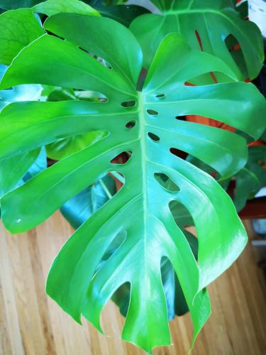 One of my favourites, my Monstera