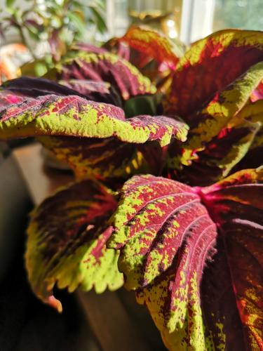 My beautiful coleus I recently moved indoors for the winter.