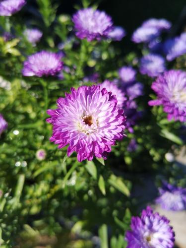 Beautiful purple Aster