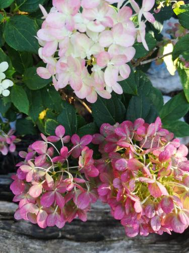 Gorgeous changing colours of hydrangea in September