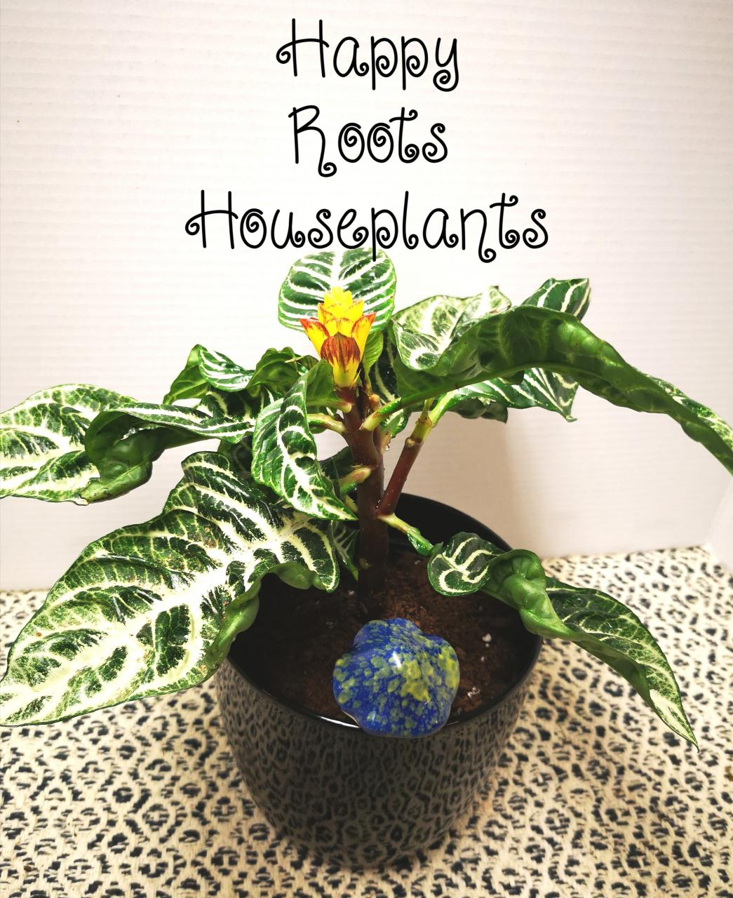 Beautiful Zebra Plant - Happy Roots Houseplants - Kingston Indoor Plant Shop