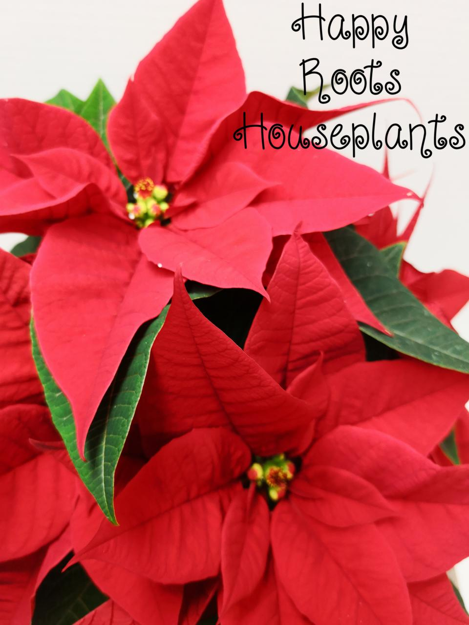 Red Poinsettia - Happy Roots Houseplants - Kingston Indoor Plant Shop