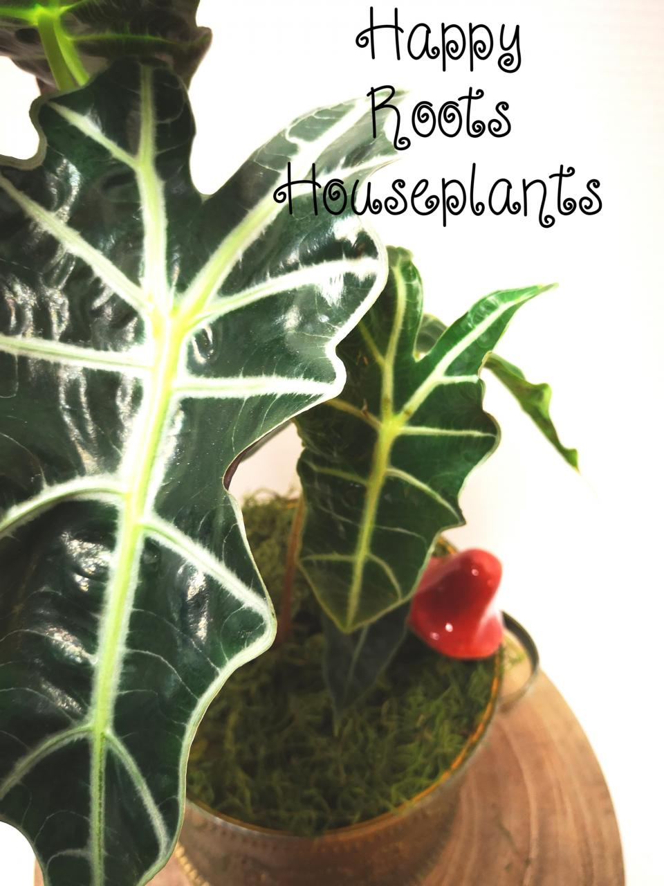 Alocasia Polly - Happy Roots Houseplants - Kingston Indoor Plant Shop