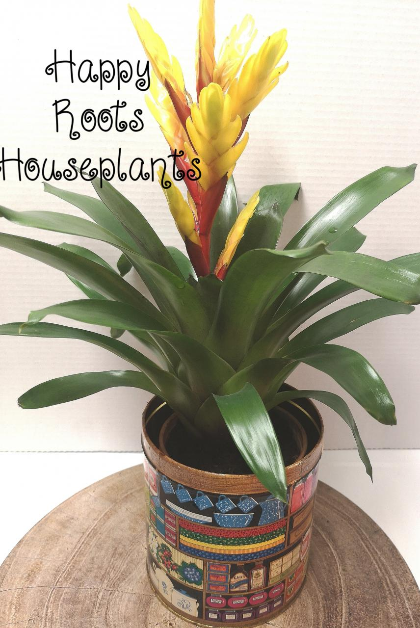 Beautiful bromeliad - Happy Roots Houseplants - Kingston Indoor Plant Shop