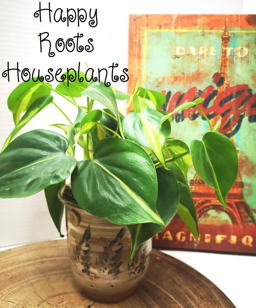 Philodendron Brasil - Happy Roots Houseplants - Kingston Indoor Plant Shop