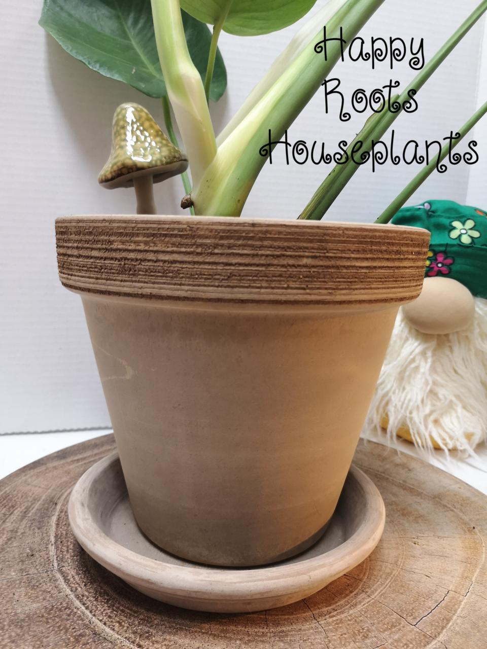 Monstera ready to grow!!!! - Happy Roots Houseplants - Kingston Indoor Plant Shop