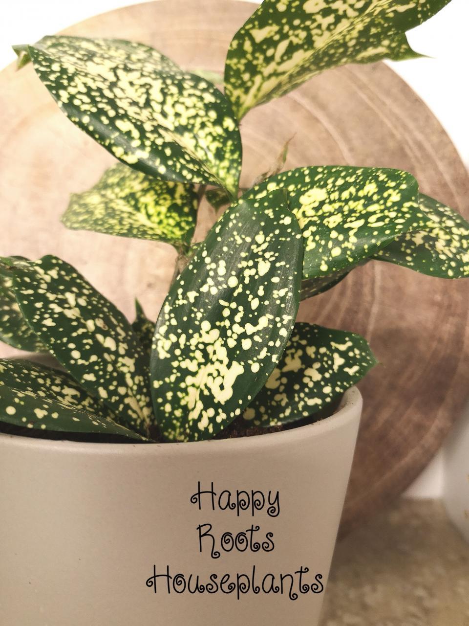 Florida Beauty, Dracaena - Happy Roots Houseplants - Kingston Indoor Plant Shop