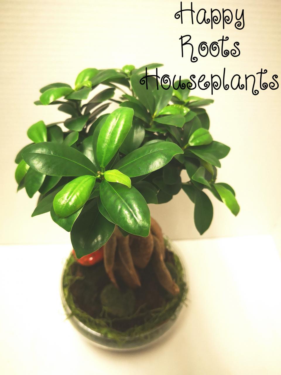 Ginseng Bonsai - Happy Roots Houseplants - Kingston Indoor Plant Shop