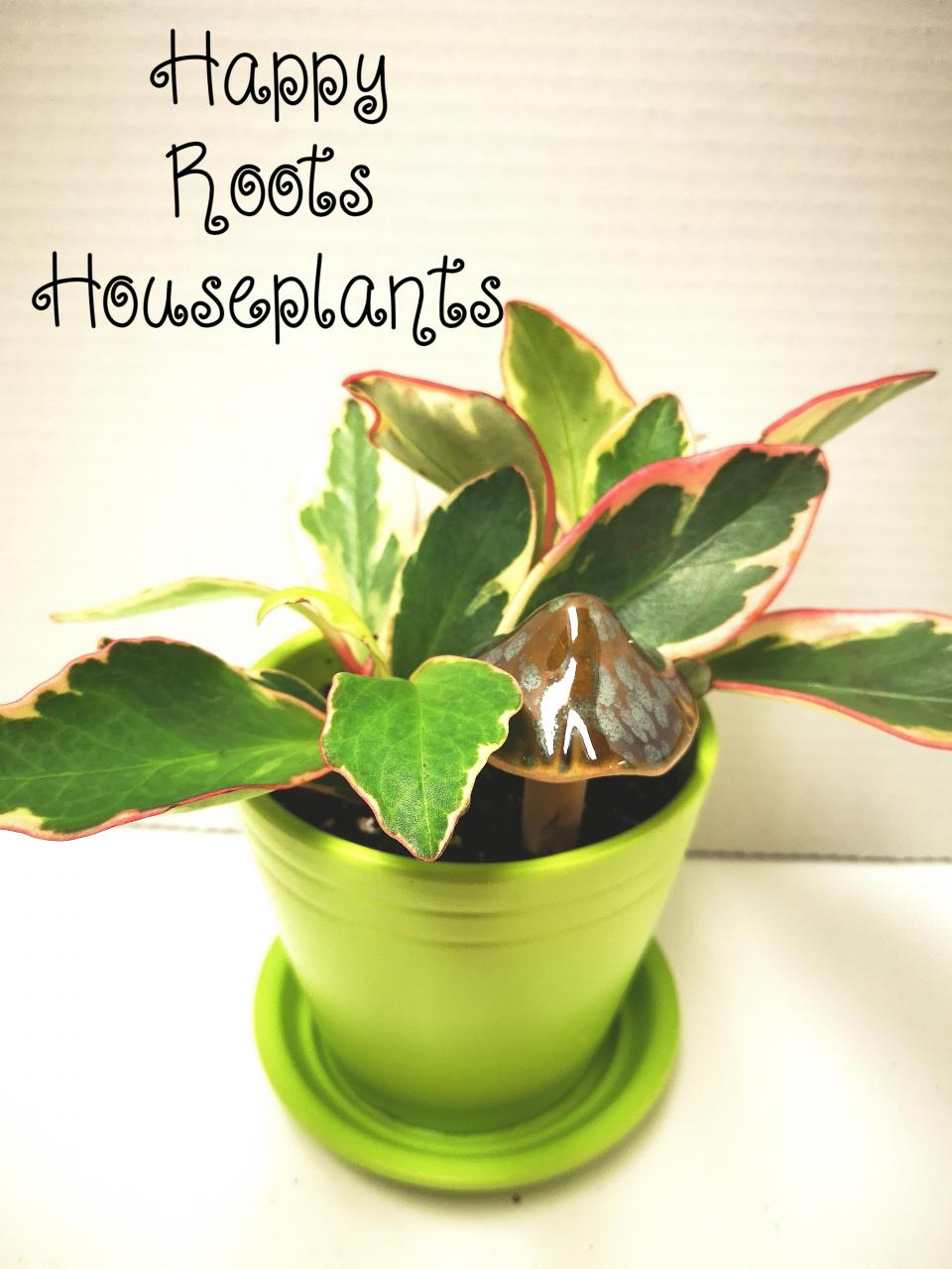 Jelly Peperomia - Happy Roots Houseplants - Kingston Indoor Plant Shop