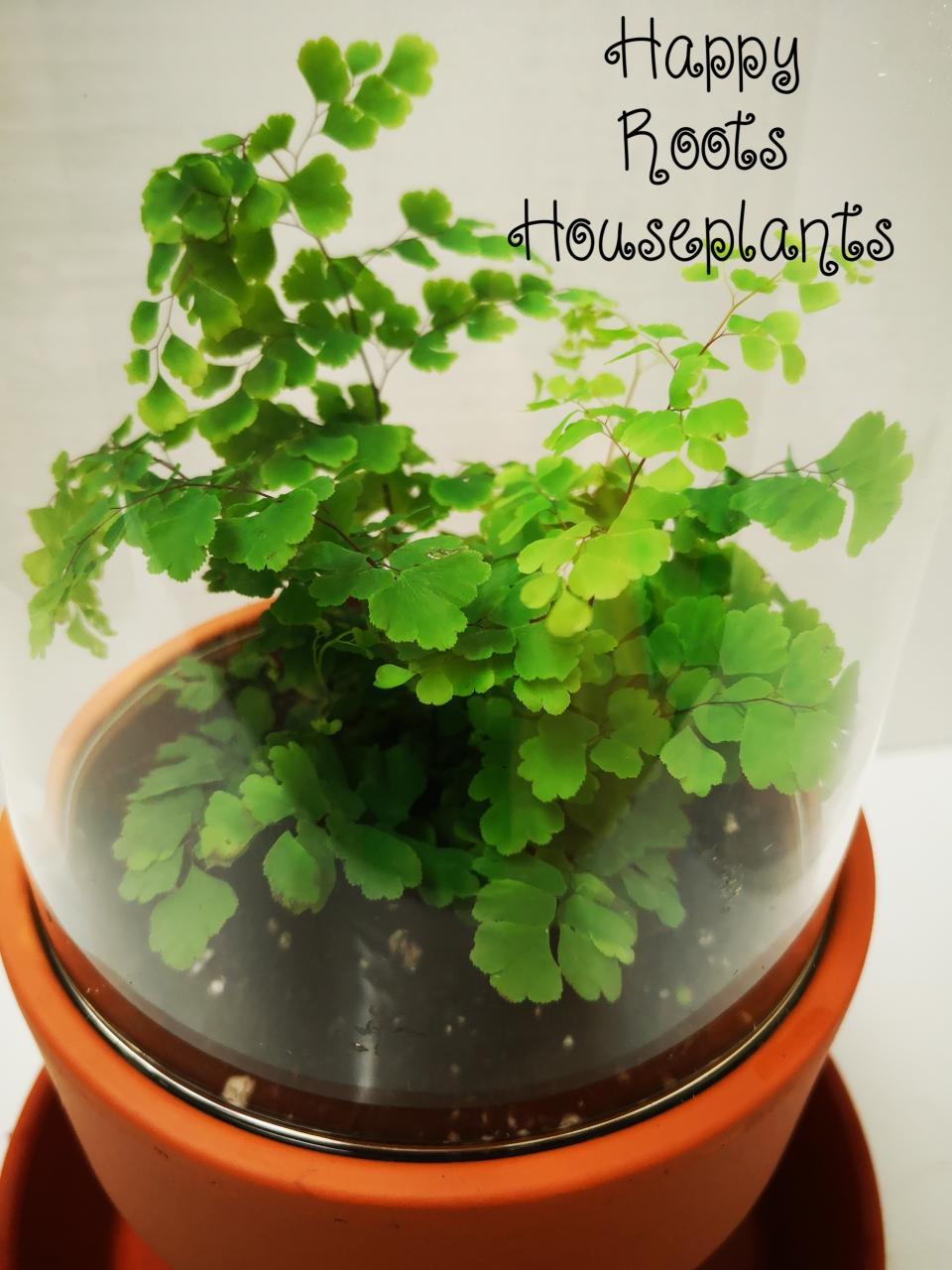 Maidenhair Fern in cloche - Happy Roots Houseplants - Kingston Indoor Plant Shop