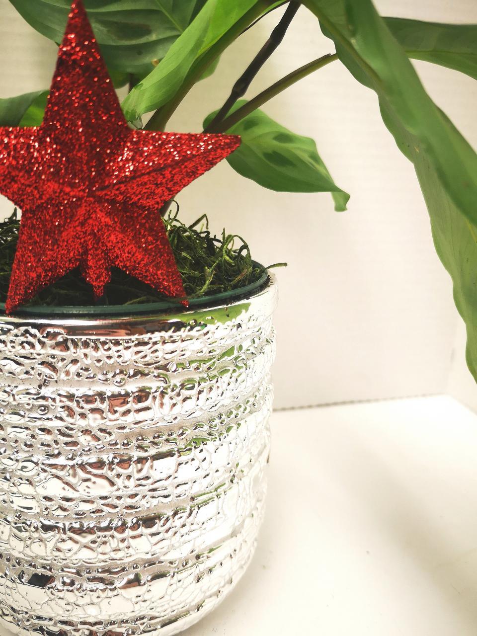 Prayer Plant  - Happy Roots Houseplants - Kingston Indoor Plant Shop