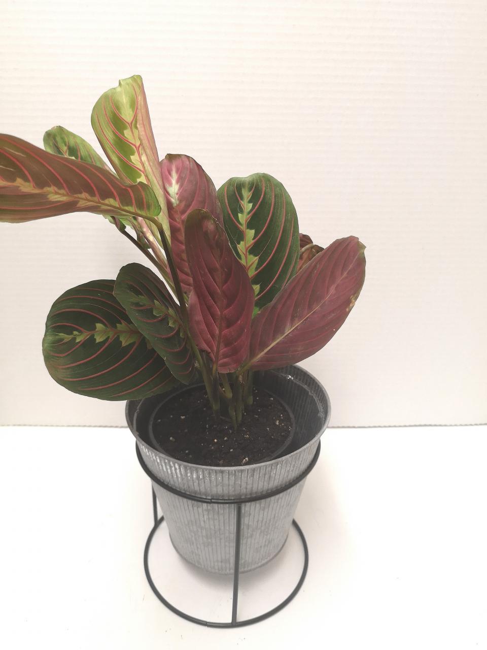 Maranta, Herringbone Prayer Plant - Happy Roots Houseplants - Kingston Indoor Plant Shop