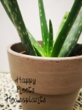 Aloe there!! - Happy Roots Houseplants - Kingston Indoor Plant Shop