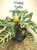 Beautiful Zebra Plant - Happy Roots Houseplants - Kingston Indoor Plant Shop